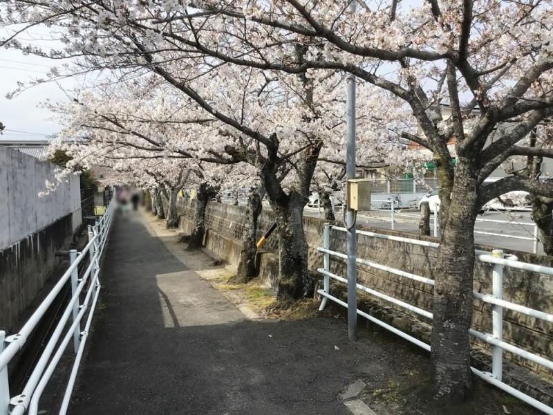 春には 十四川:四日市の桜の名所!『十四川』の桜並木が近くにあります。遠出しなくても、家族でゆっくり花見が楽しめます♪